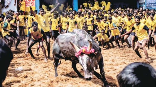 Sun News TV live: JalliKattu Bull ban protest refuses to die down