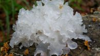 The White Fungus